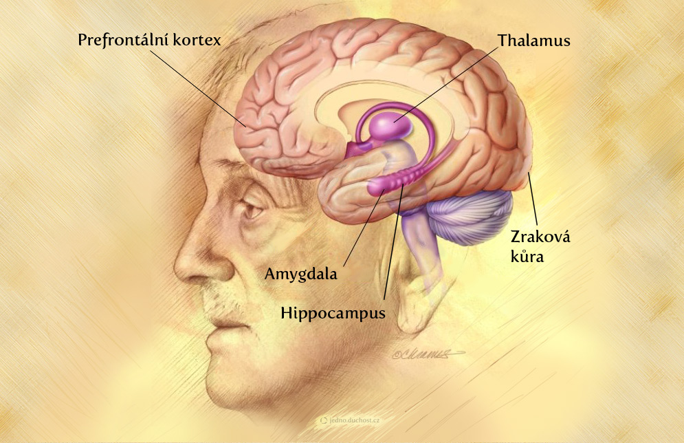 prefrontalni-kortex-thalamus-amygdala-hippocampus-komunikace-bez-agrese-jedno.duchost.cz